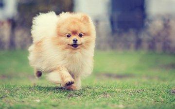 трава, собака, бежит, рыженькая, пушистая, шпиц