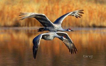 полет, крылья, птицы, журавль, канадские журавли