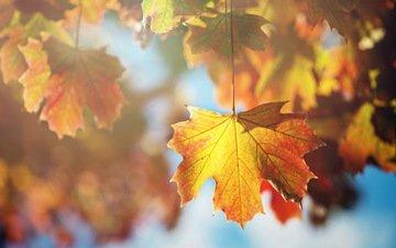 дерево, листья, макро, ветки, листва, осень, клен