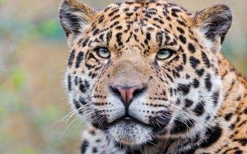 морда, взгляд, леопард, хищник, ягуар, ягуа́р