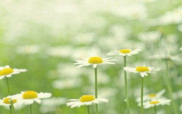 цветы, цветение, лепестки, поляна, ромашки, белые, зеленый фон