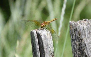 природа, макро, насекомое, стрекоза, крылышки
