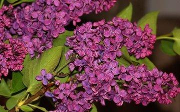цветы, цветение, листья, капли, весна, сирень