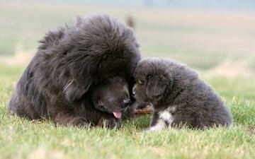трава, собака, щенок, тибетский мастиф