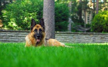 трава, собака, лежит, немецкая овчарка