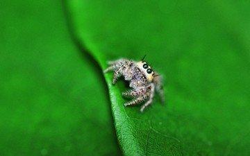 макро, лист, насекомые, паук