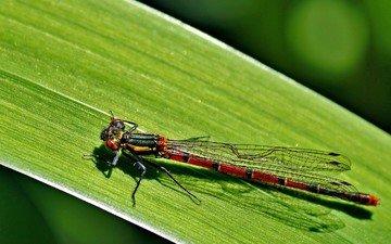 макро, лист, насекомые, стрекоза