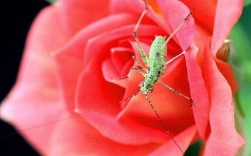beetle, macro, insect, flower, rose