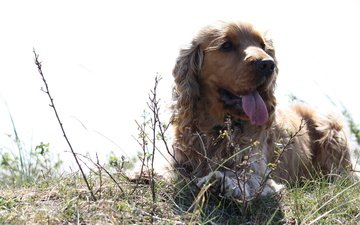 трава, собака, лежит, ушки, кудрявая, кокер-спаниель