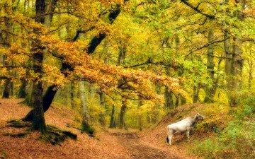 лес, осень, корова
