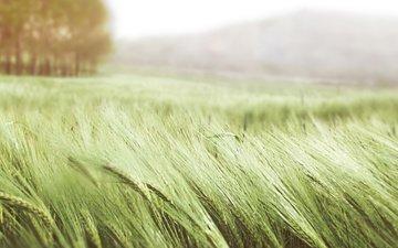 поле, лето, колосья, пшеница, колоски, ветер