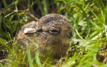 трава, природа, животные, малыш, зайцы, зайчонок