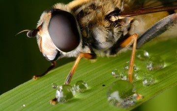 глаза, макро, капли, лист, насекомые, пчела