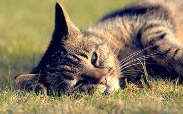 трава, кот, кошка, отдых, полосатый