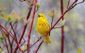 ветка, природа, птицы, птица, птичка, жёлтая, желтая славка