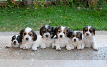 трава, асфальт, собаки.щенки