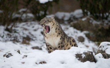 снег, снежный барс, зевает, ирбис, барс, дикая кошка