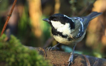 природа, птица, клюв, птичка, синица, синичка