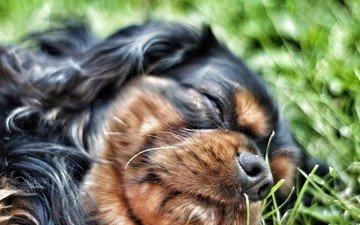трава, сон, собака, спаниель