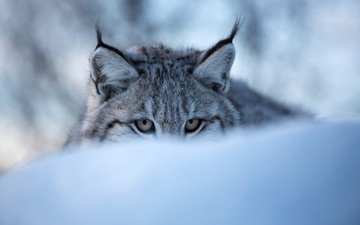 глаза, морда, снег, зима, рысь, дикая кошка