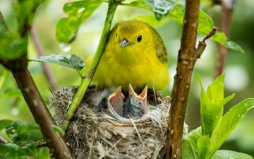 птицы, птичка, птенцы, гнездо, птиц, гнезда, желторотики