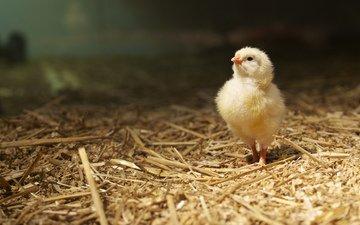 фон, птица, цыплёнок, солома