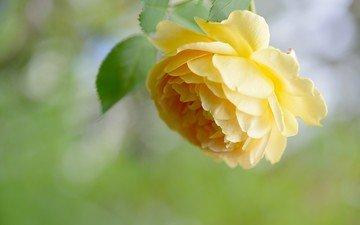 цветок, роза, лепестки, жёлтая