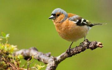 ветка, природа, птицы, зяблик