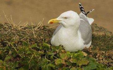 трава, природа, листья, чайка, птицы