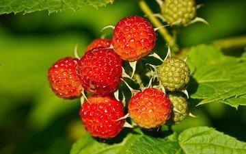 листья, фон, малина, ягода, куст