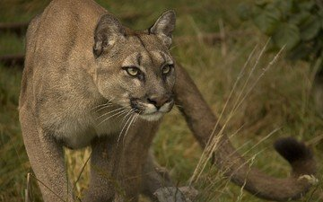взгляд, хищник, пума, дикая кошка, горный лев, кугуар