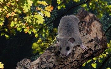 природа, дерево, животные, мышка, глазки