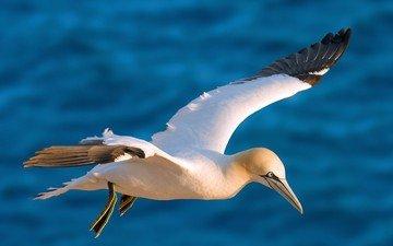 полет, крылья, птица, олуша, северная