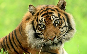 тигр, морда, взгляд, хищник, дикая кошка, красавец