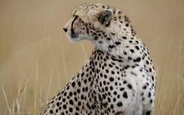 морда, профиль, гепард, дикая кошка