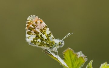 макро, насекомое, бабочка, крылья, лист