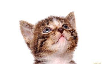 кот, кошка, котенок, белый фон, полосатый