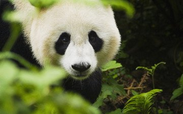 зелень, животные, панда, бамбуковый медведь