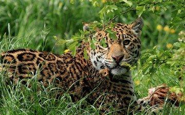 трава, кошка, хищник, ягуар, обед, большая, дикая