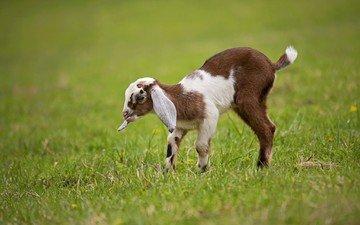 трава, животные, лужайка, детеныш, козленок, козы