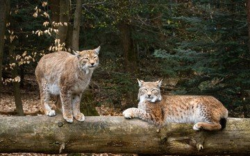 природа, рысь, дикие кошки, рыси