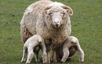 трава, рога, детки, овцы, овечки, животные.овца