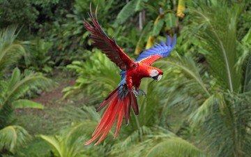полет, птица, джунгли, попугай, ара