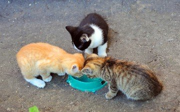 кошки, котята, молоко, миска