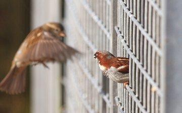 крылья, птицы, решетка, воробьи