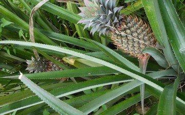 природа, растение, ананас