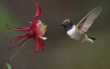 flower, wings, birds, hummingbird, the catchment