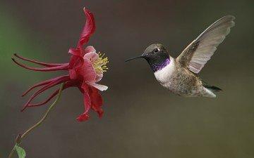 цветок, крылья, птицы, колибри, водосбор
