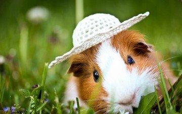 трава, животные, шляпка, морская свинка