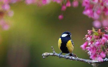 цветы, ветки, птицы, весна, птичка, синица, синичка